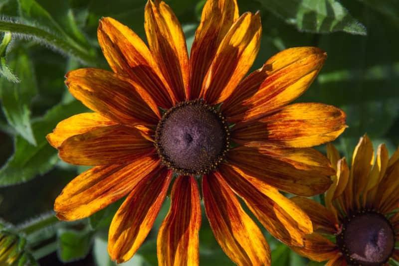 black-eyed Susan_Rudbeckia hirta 'Autumn Colors'