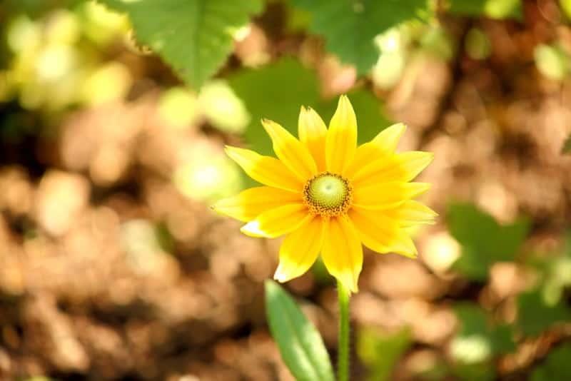 black-eyed Susan_Rudbeckia hirta 'Prairie Sun'