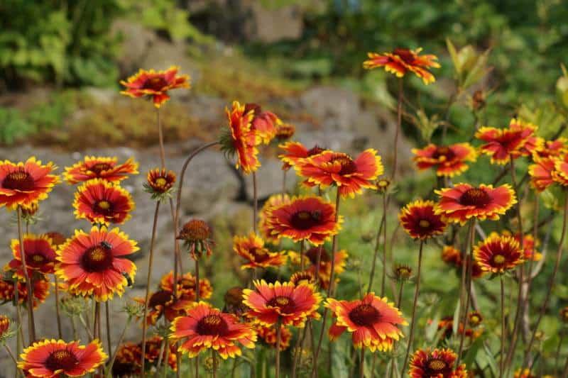 blanket flower_Gaillardia × grandiflora