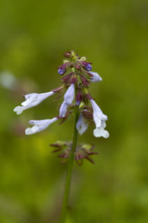 Cancer weed (Salvia lyrata)