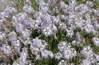 Carnation (Dianthus superbus)
