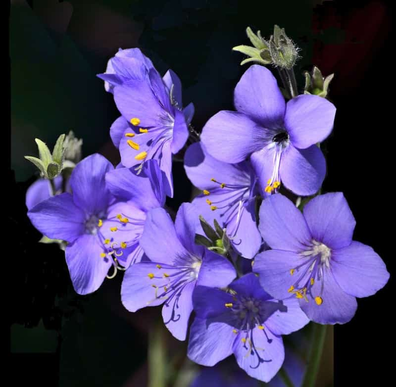 charity_Polemonium caeruleum