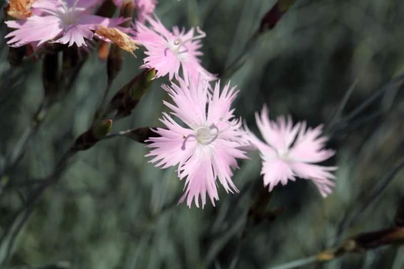 cheddar pink_Dianthus gratianopolitanus