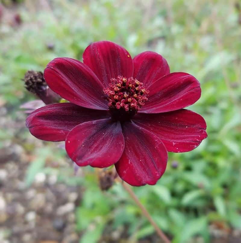 chocolate flower_Berlandiera lyrata