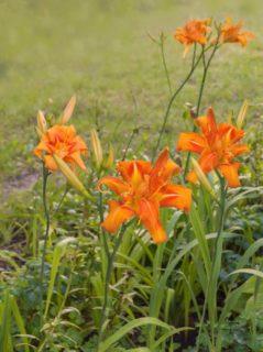 """Daylily (Hemerocallis """"Apricot"""")"""