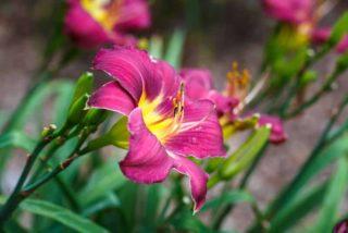 """Daylily (Hemerocallis """"Red Magic"""")"""