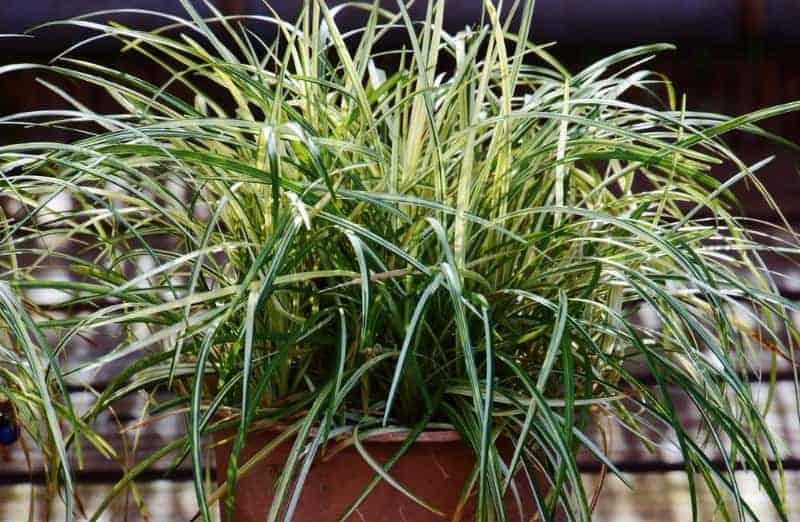 dwarf lilyturf_Ophiopogon japonicus