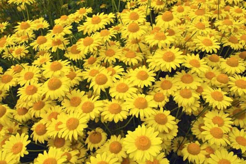 dyer's chamomile_Anthemis tinctoria 'Kelwayi'