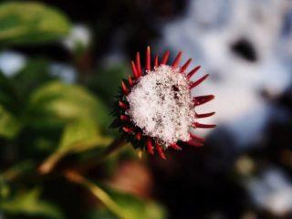 "Eastern coneflower (Echinacea ""Snow Cone"")"