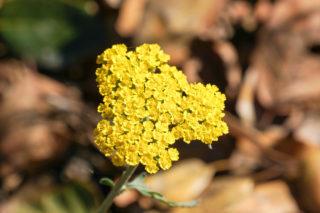 Fern leaf yarrow (Achillea filipendulina)