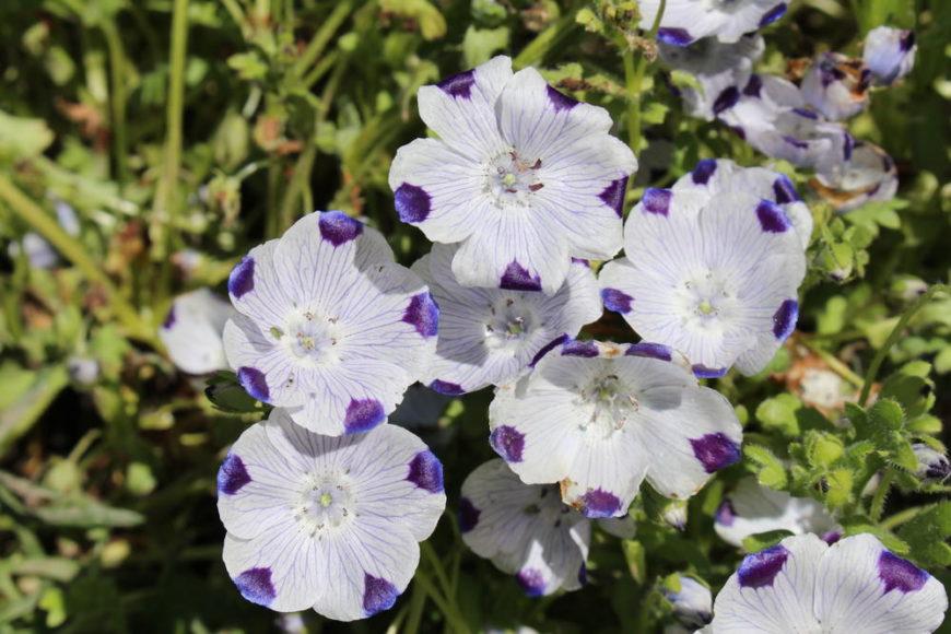 fivespot_Nemophila-maculata
