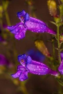 "Foothill penstemon (Penstemon heterophyllus ""Electric Blue"")"