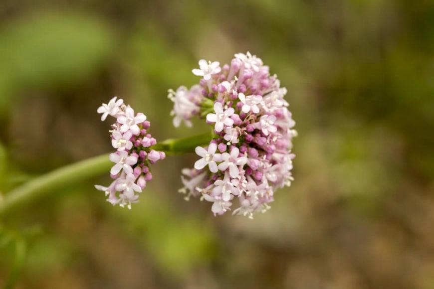 garden heliotrope_Valeriana officinalis