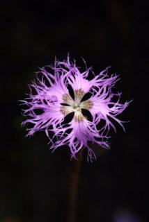 """Garden pinks (Dianthus """"Rainbow Loveliness"""")"""