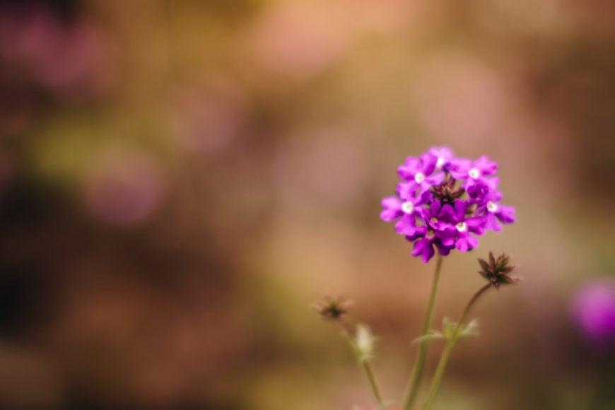 garden verbena_Verbena × hybrida