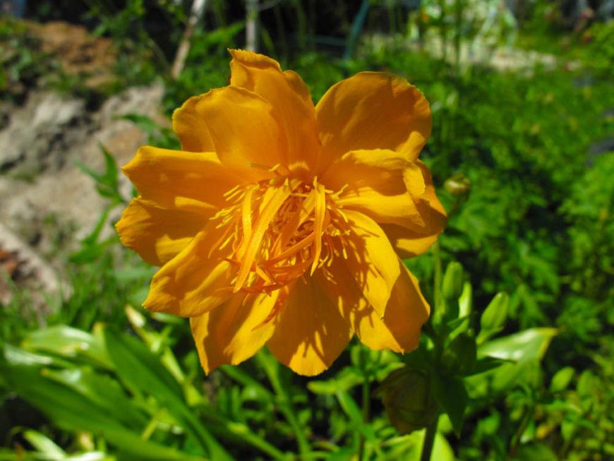 globe flower_Trollius ledebourii