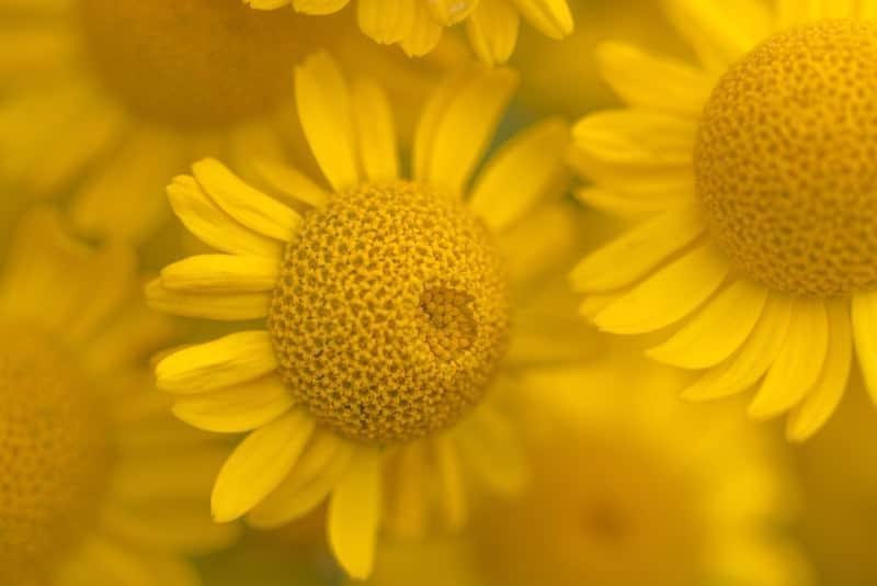 golden chamomile_Anthemis tinctoria