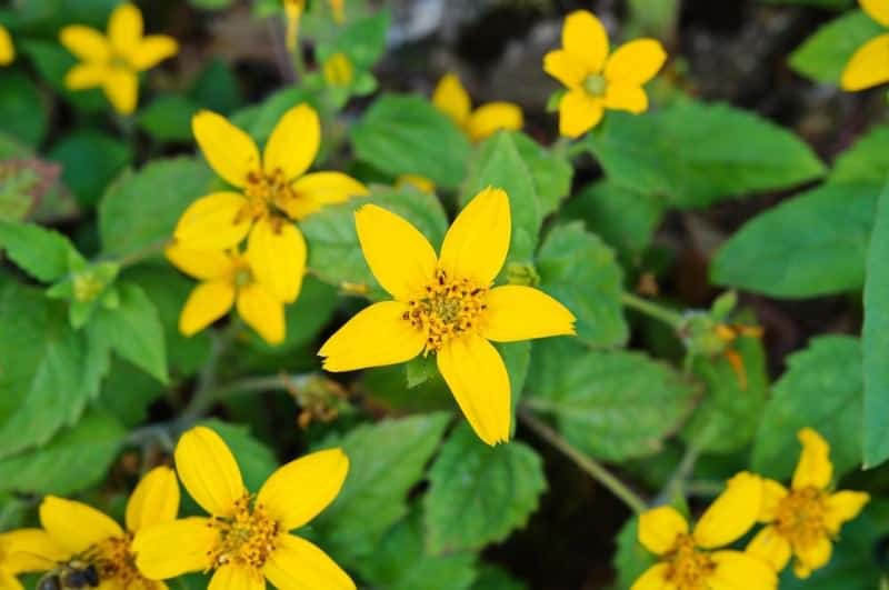 golden knee_Chrysogonum virginianum
