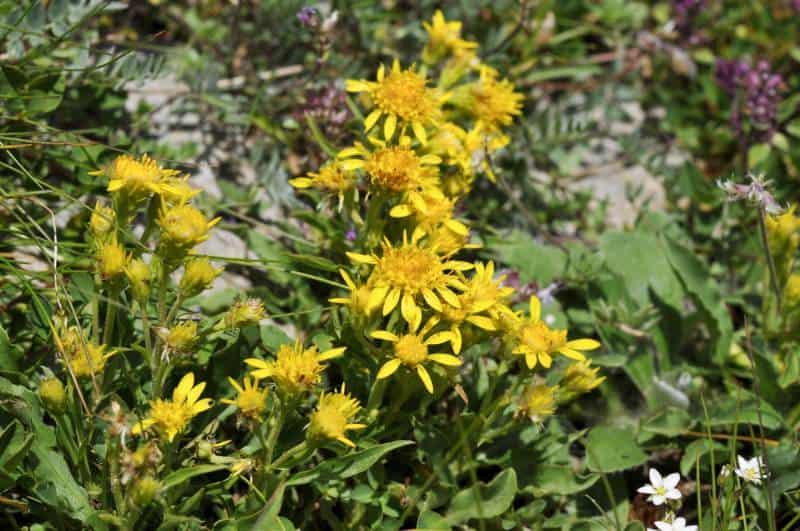 goldenrod_Solidago virgaurea subsp. minuta