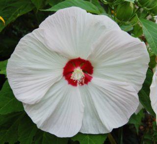 "Hardy hibiscus (Hibiscus ""Kopper King"")"