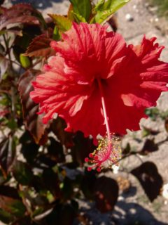 "Hardy hibiscus (Hibiscus ""Lord Baltimore"")"