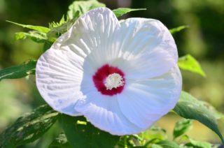 "Hardy hibiscus (Hibiscus moscheutos ""Disco Belle White"")"