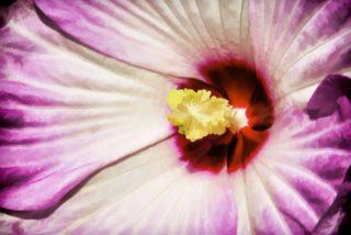 """Hardy hibiscus (Hibiscus moscheutos """"Luna Red"""")"""