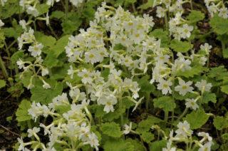 Hardy primrose (Primula kisoana)