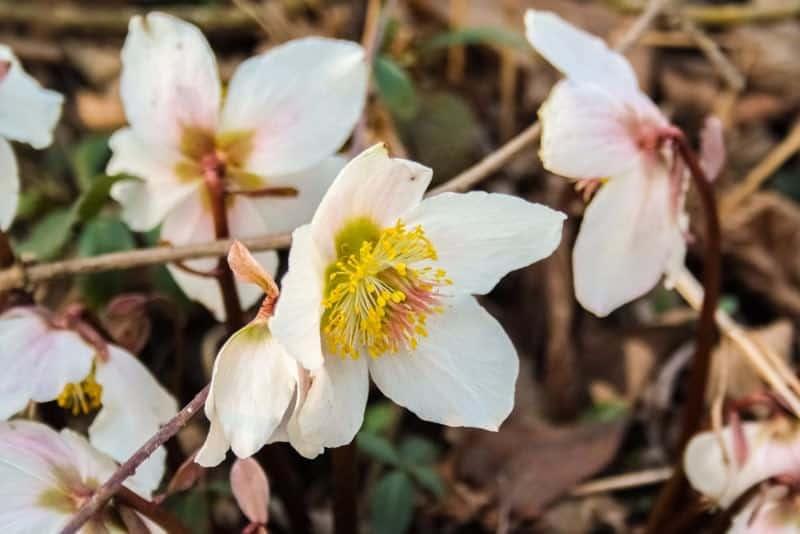 hellebore_Helleborus-orientalis