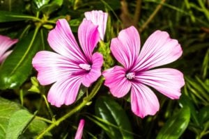 """75 Flowers that Start with """"H"""""""