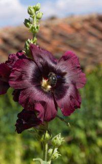 "Hollyhock (Alcea rosea ""Nigra"")"