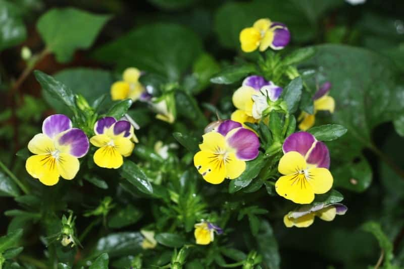 horned violet_Viola cornuta