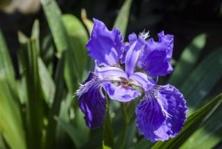 Iris (Iris germanica)