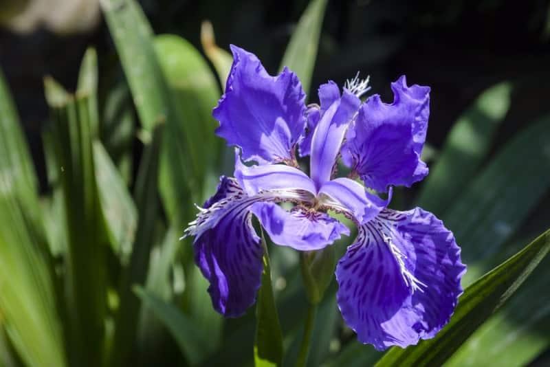 iris_Iris germanica
