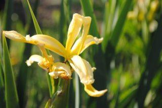 Iris (Iris graminea)