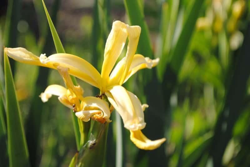 iris_Iris graminea
