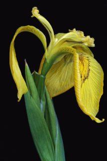 Iris (Iris maackii)