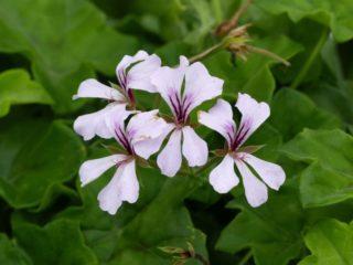 Ivyleaf geranium (Pelargonium peltatum)