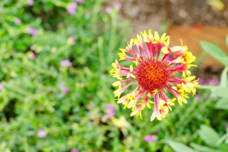 lance leaf blanket flower_Gaillardia aestivalis