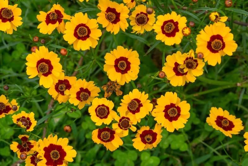 lanceleaf coreopsis_Coreopsis lanceolata