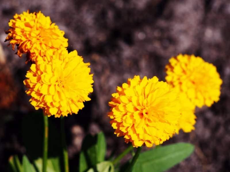 large-flowered tickseed_Coreopsis grandiflora