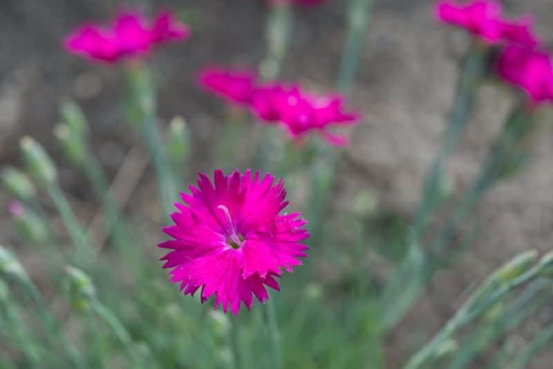 maiden pink_Dianthus deltoides