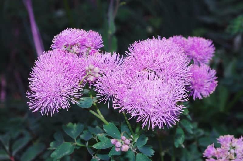 meadow rue_Thalictrum aquilegiifolium