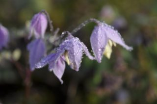 Meadow Rue (Thalictrum Delavayi)