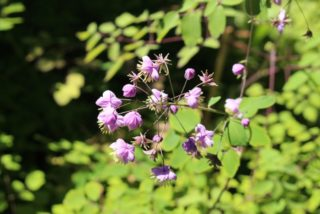 Meadow Rue (Thalictrum Kiusianum)