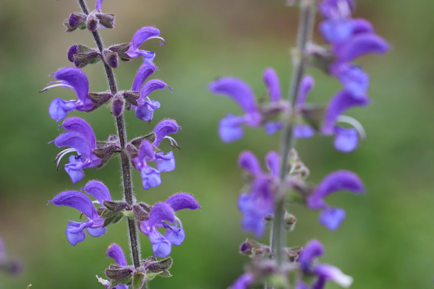 meadow sage_Salvia pratensis