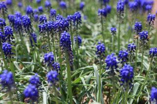 Mealycup sage (Salvia farinacea)