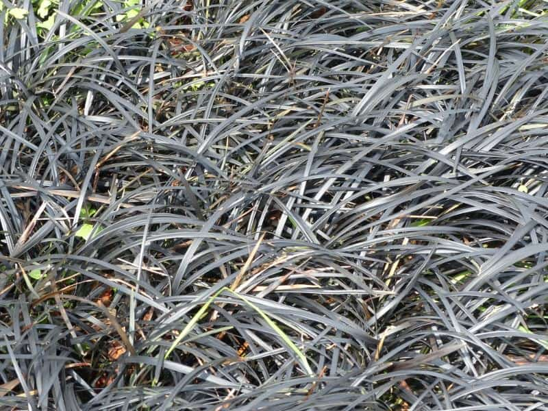 mondo grass_Ophiopogon planiscapus