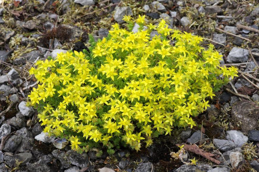 moss stonecrop_Sedum acre