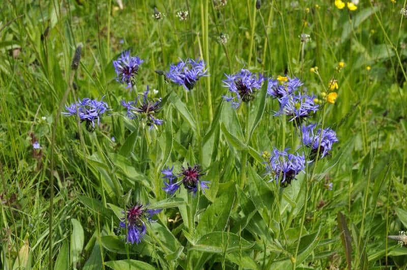 mountain bluet_Centaurea montana